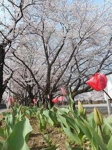 鴻巣公園の桜20160401