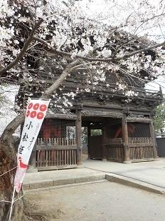 勝願寺の桜20160401