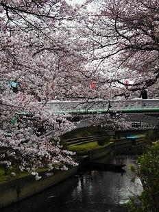 元荒川の桜20160401