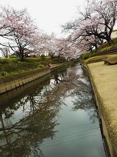 元荒川の桜―3-20160401