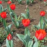 ②花のオアシス チューリップ