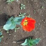 ⑦花のオアシス チューリップ