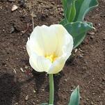 ⑩花のオアシス チューリップ