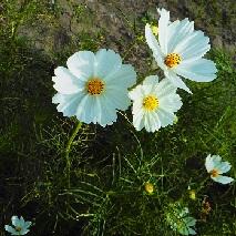 48 白いコスモスの花言葉