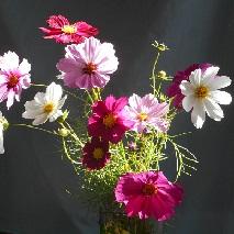 41 コスモスの花言葉全体