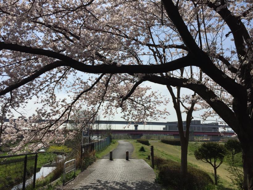tamagawasakura01.jpg