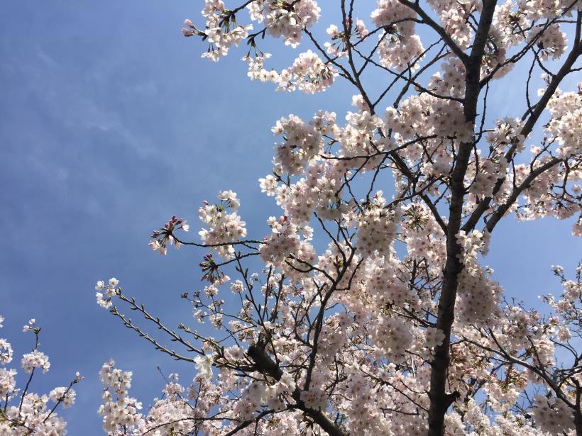 tamagawasakura04.jpg