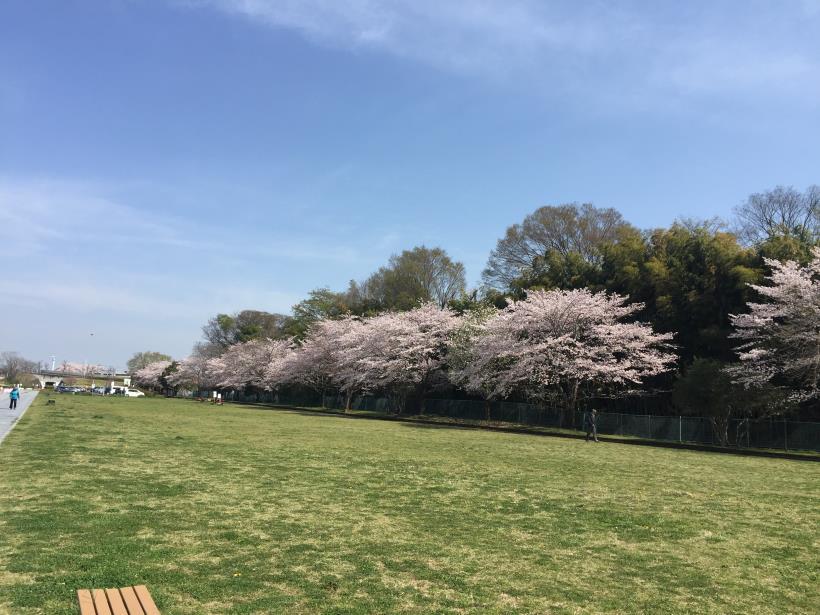 tamagawasakura06.jpg
