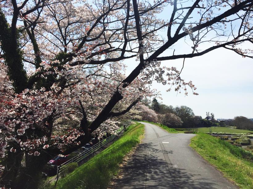 tamagawasakura15.jpg
