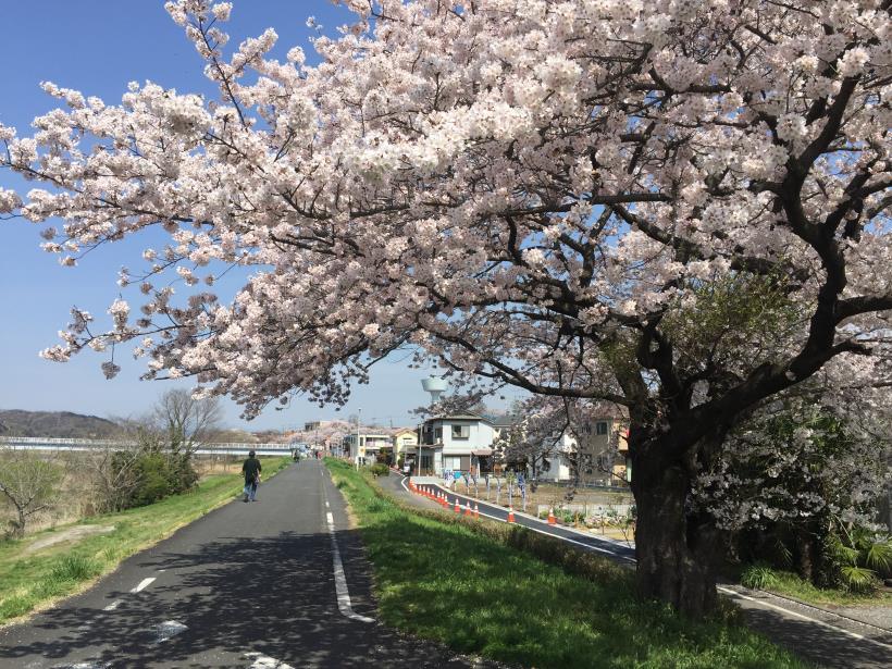 tamagawasakura16.jpg
