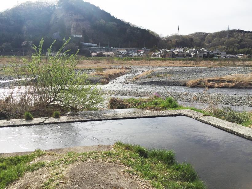 tamagawasakura25.jpg