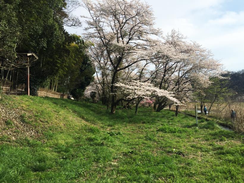 tamagawasakura26.jpg