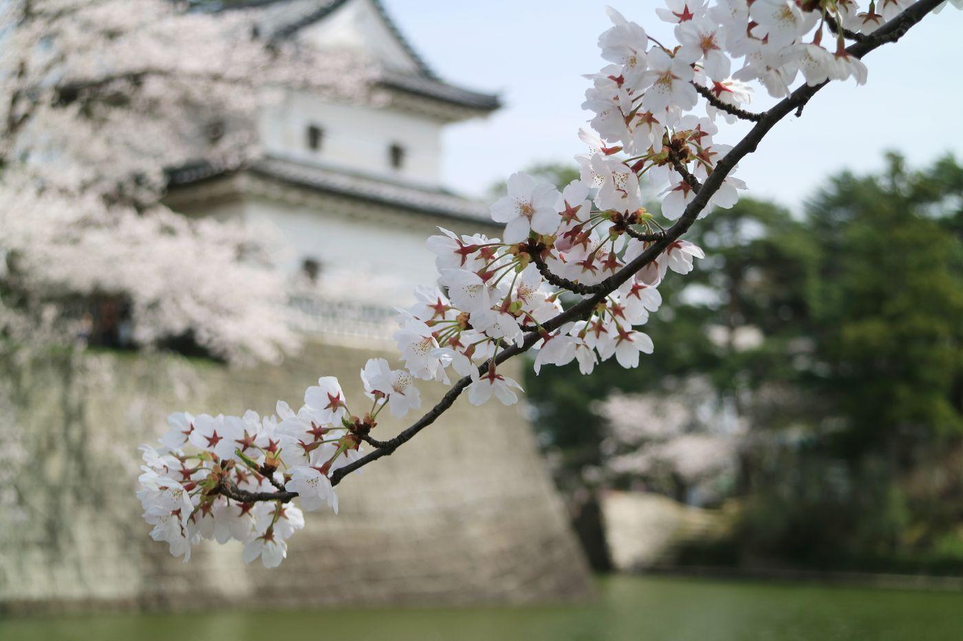 ●S明2016・4・9桜城_10