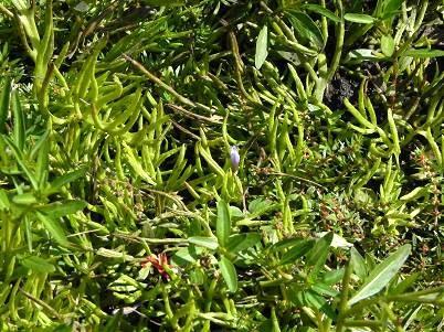 水蕨とミズマツバ