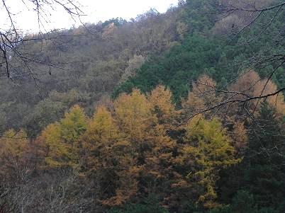 唐松の黄葉