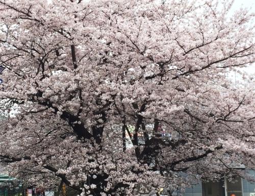 07桜満開