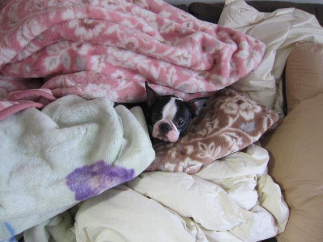 寝床を掘った ボストンテリア
