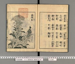 畫本野山草[3] 鶏頭花