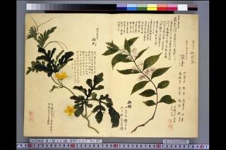 梅園草木花譜夏之部巻4「西瓜」