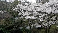 1 桜見ごろでした