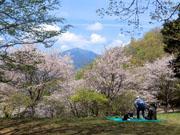 014大山をバックに浅間山の桜