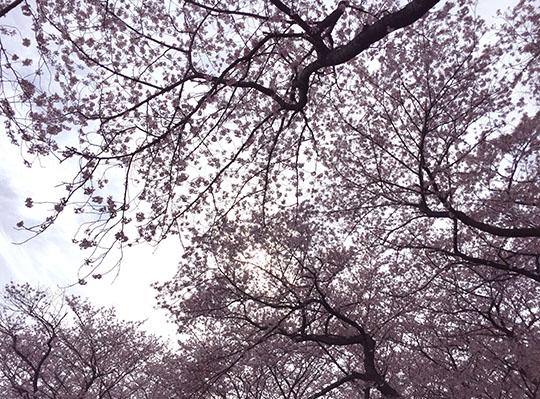 160409_sakura.jpg