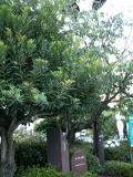 JR新山口駅 おごおり桜 木