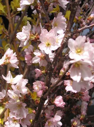 H280321 小圷桜