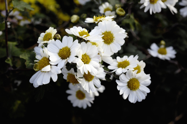 Nikon D2X 35mm f/2D 畑の隅に咲いてた菊