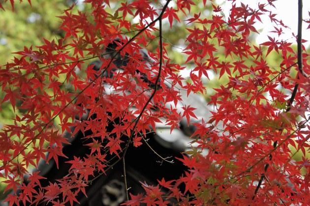 紅葉の向こうにお寺の屋根