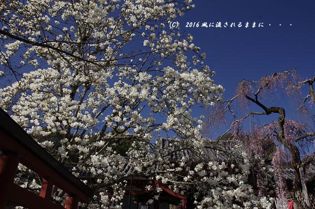 2016年3月21日撮影 奈良・氷室神社 枝垂れ桜と白木蓮1