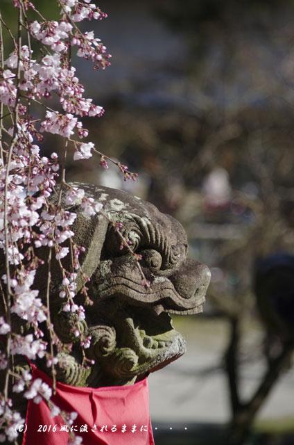 2016年3月21日撮影 奈良・氷室神社 枝垂れ桜と白木蓮10