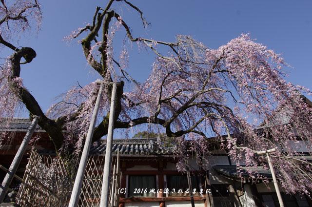 2016年3月21日撮影 奈良・氷室神社 枝垂れ桜と白木蓮11