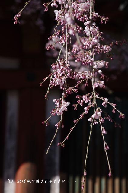 2016年3月21日撮影 奈良・氷室神社 枝垂れ桜と白木蓮2