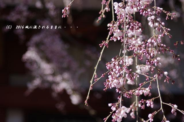 2016年3月21日撮影 奈良・氷室神社 枝垂れ桜と白木蓮3