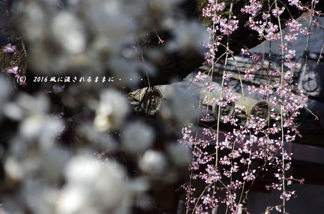 2016年3月21日撮影 奈良・氷室神社 枝垂れ桜と白木蓮4