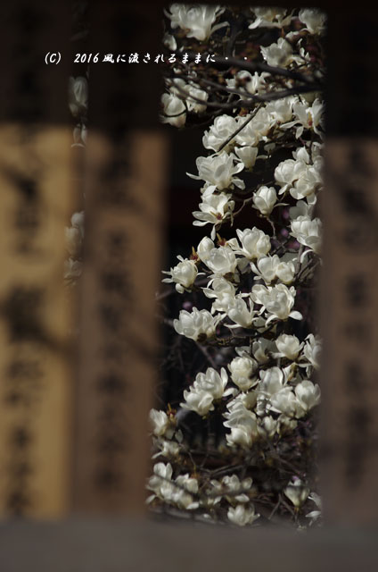 2016年3月21日撮影 奈良・氷室神社 枝垂れ桜と白木蓮5