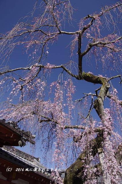 2016年3月21日撮影 奈良・氷室神社 枝垂れ桜と白木蓮6
