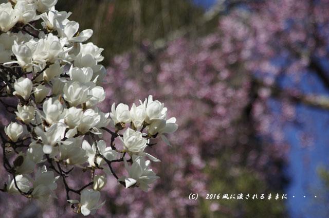 2016年3月21日撮影 奈良・氷室神社 枝垂れ桜と白木蓮7