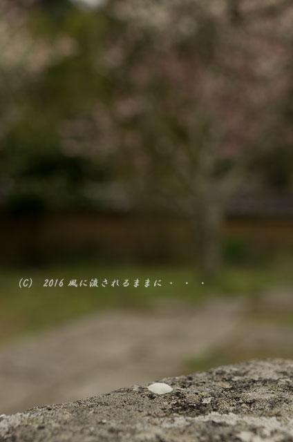 2016年3月6日撮影 大阪・観心寺の梅3