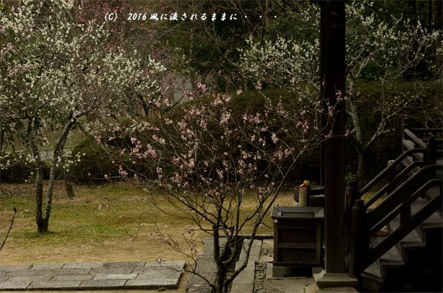 2016年3月6日撮影 大阪・観心寺の梅5