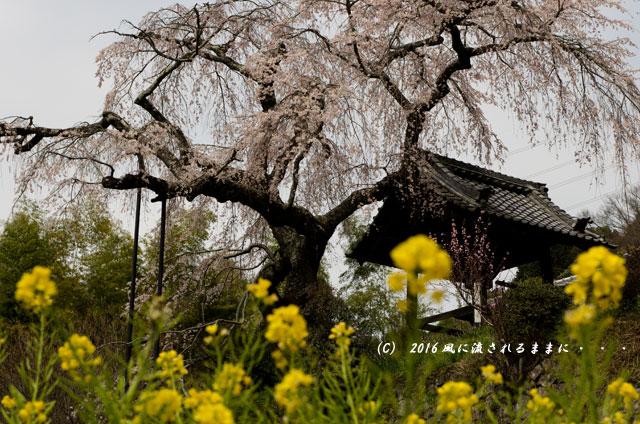 2016年3月27日撮影 京都・地蔵禅院のしだれ桜1