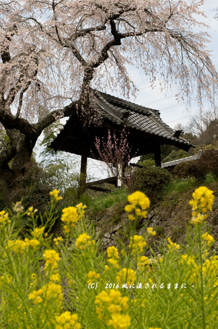 2016年3月27日撮影 京都・地蔵禅院のしだれ桜3