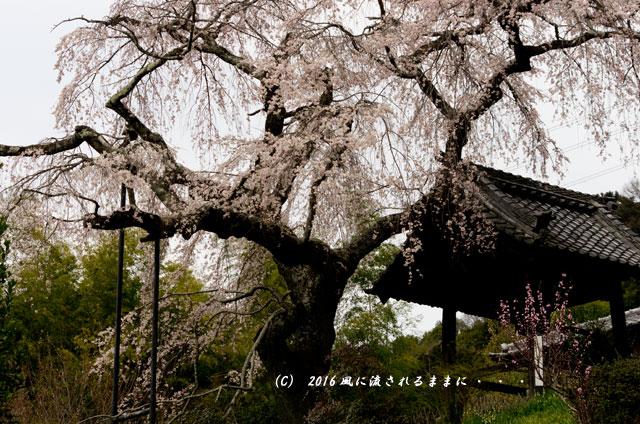 2016年3月27日撮影 京都・地蔵禅院のしだれ桜4