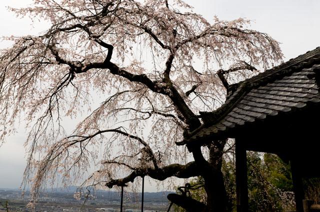 2016年3月27日撮影 京都・地蔵禅院のしだれ桜5