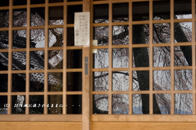2016年3月27日撮影 京都・地蔵禅院のしだれ桜6