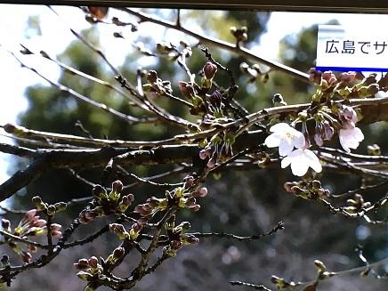3232016広島桜開花宣言S