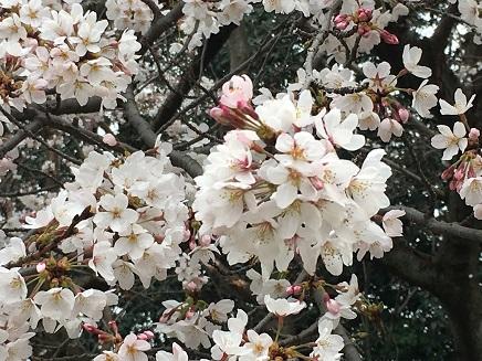 3292016比治山の桜S2
