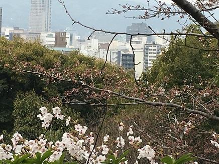 3292016比治山の桜S6