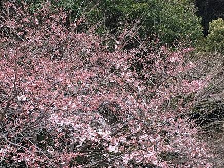 3292016比治山の桜S16